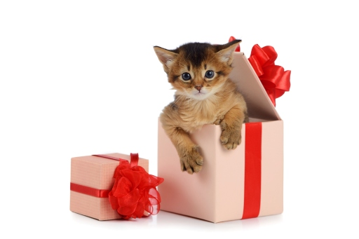 Cute somali kitten in a present box isolated